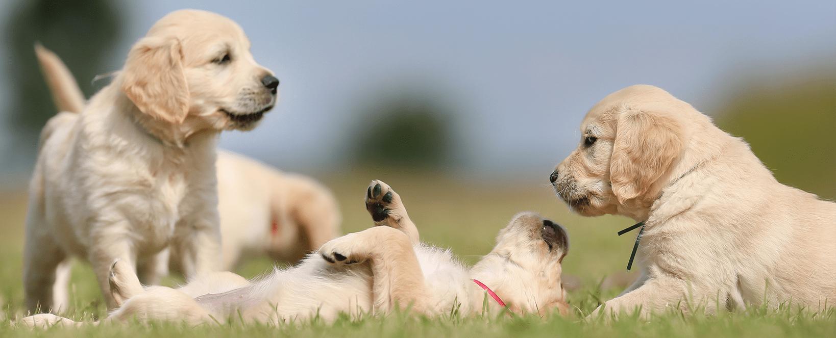גורים משחקים על הדשא