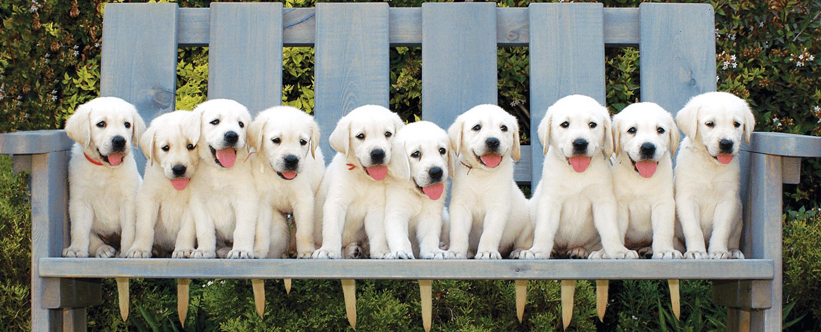 גורים לבנים יושבים על ספסל תכלת